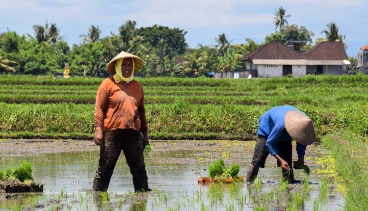 インドネシアの米生産量